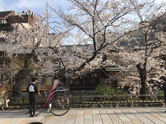 祇園の桜と京阪HDのカフェテル