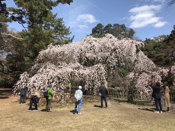 京都御所の『桜』と京王電鉄の『シェア型複合ホテル』