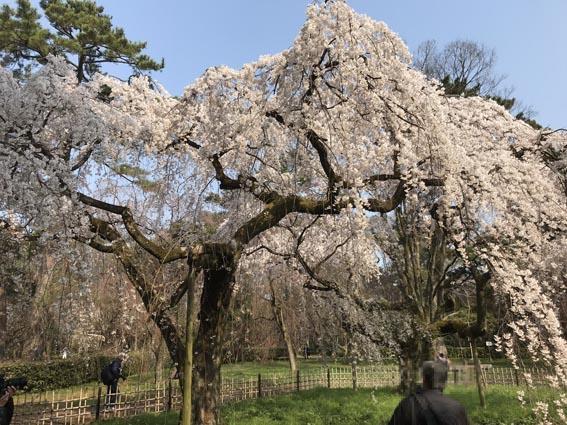 「鴨川と御所」の桜