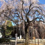 上七軒と平野神社と千本釈迦堂と桜