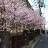 高辻通の京都文化協会前の桜