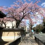 平安女学院大学 有栖館の『枝垂桜』と売物件『浴張る家』