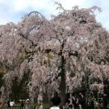京都御苑の桜と堂々完成『ザ・京都レジデンス御所東』