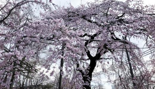 桜の平野神社、わら天神宮、『アマン京都』