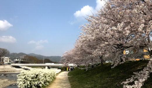 賀茂川の橋と桜