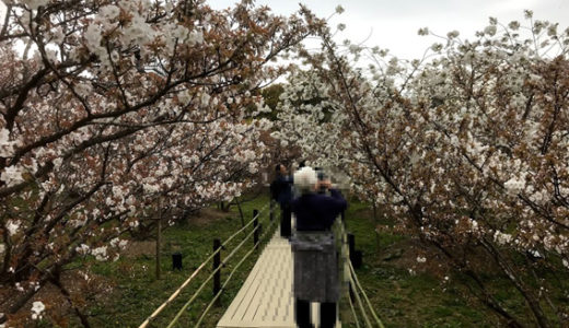 仁和寺『おむろ桜』見頃