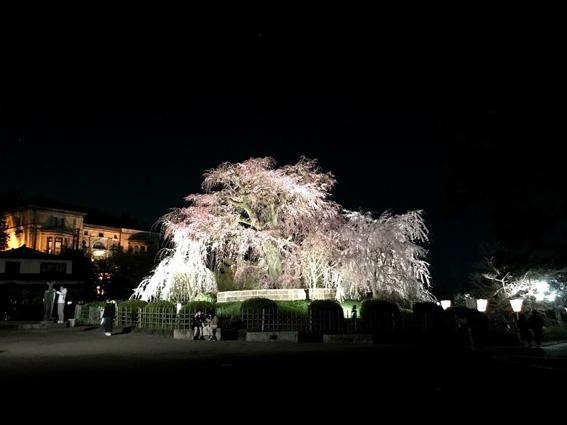 円山公園 祇園枝垂桜の樹の下には